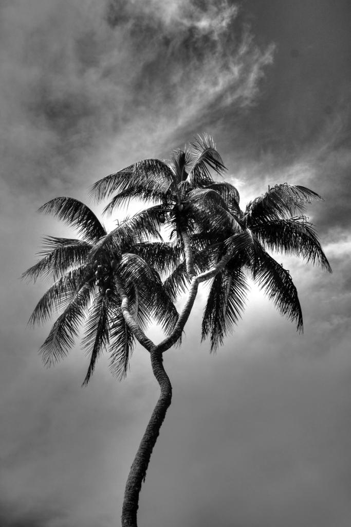 tripple palm
