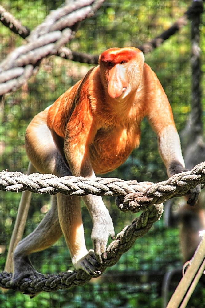probiscis monkey