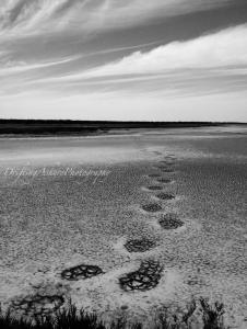 elephant tracks in mud