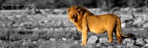 lionbwcolor