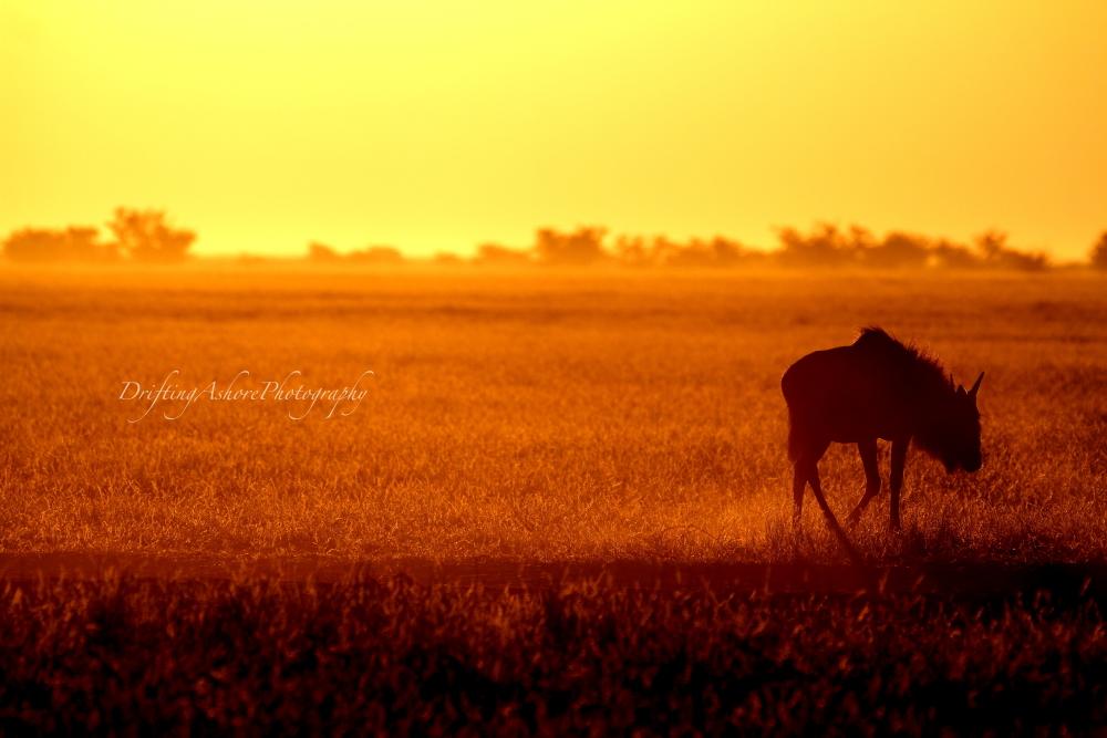 wildebeest at dawn