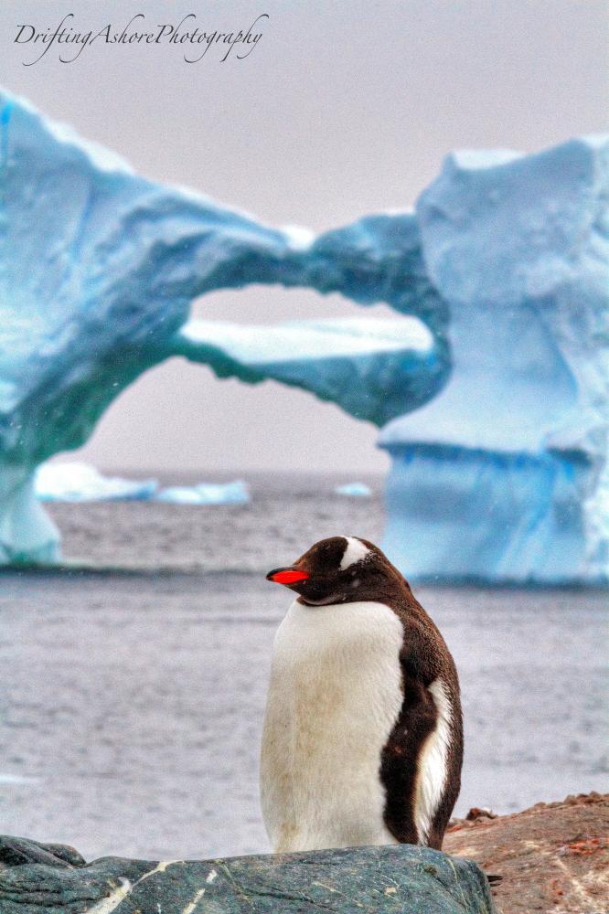 gentoo and iceberg