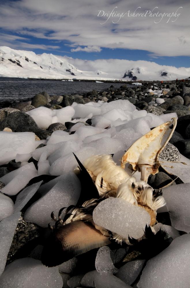 penguin carcass 1